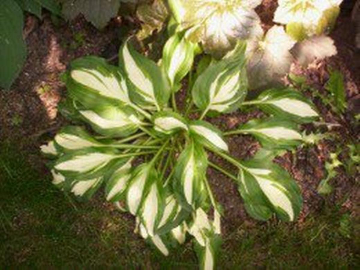 As this hosta shows, the plant comes with a wide variety of leaf size and shape and color variations.