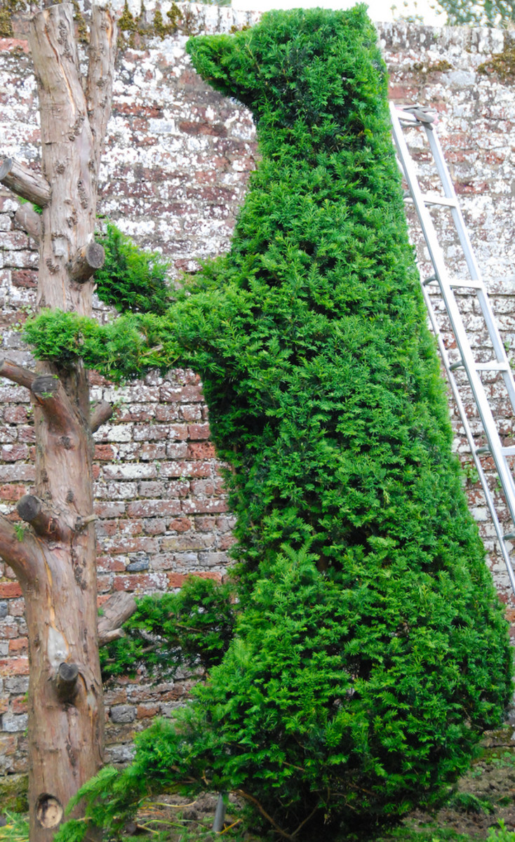 Topiary of Yew