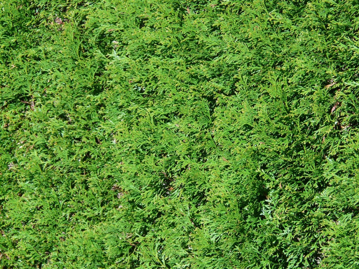 Thuja hedge