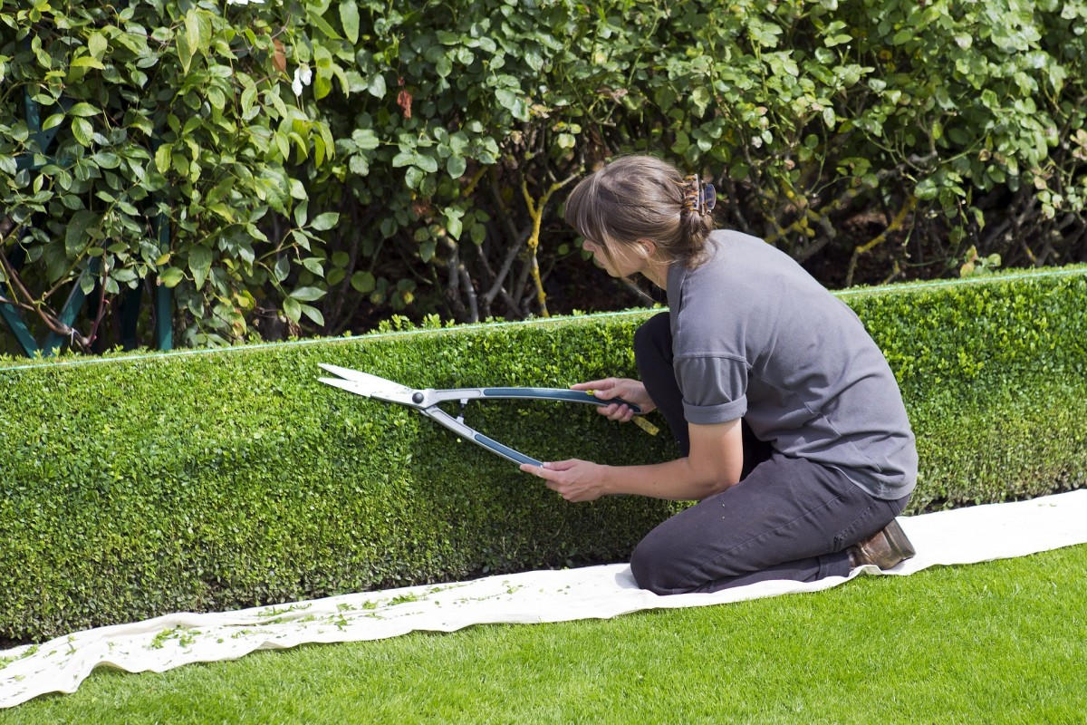 Box hedges can be labor-intensive.