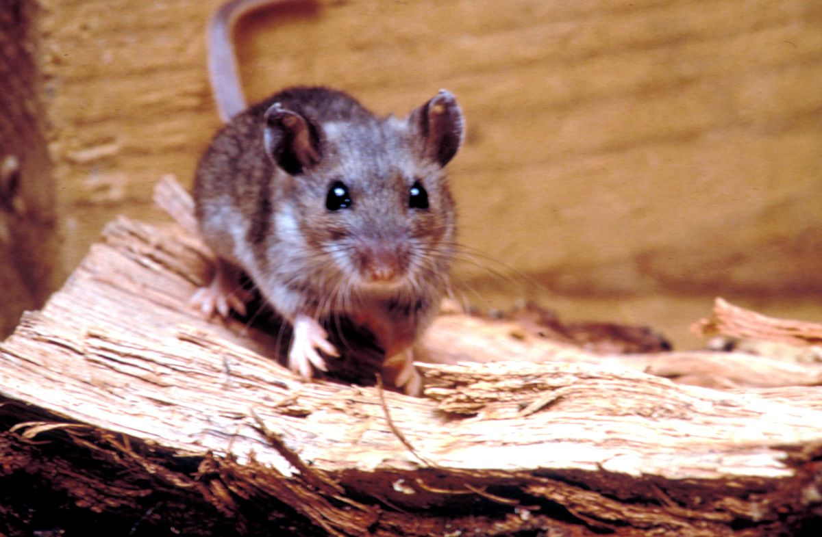 Are There Mice In Your Attic Or Hvac System Dengarden