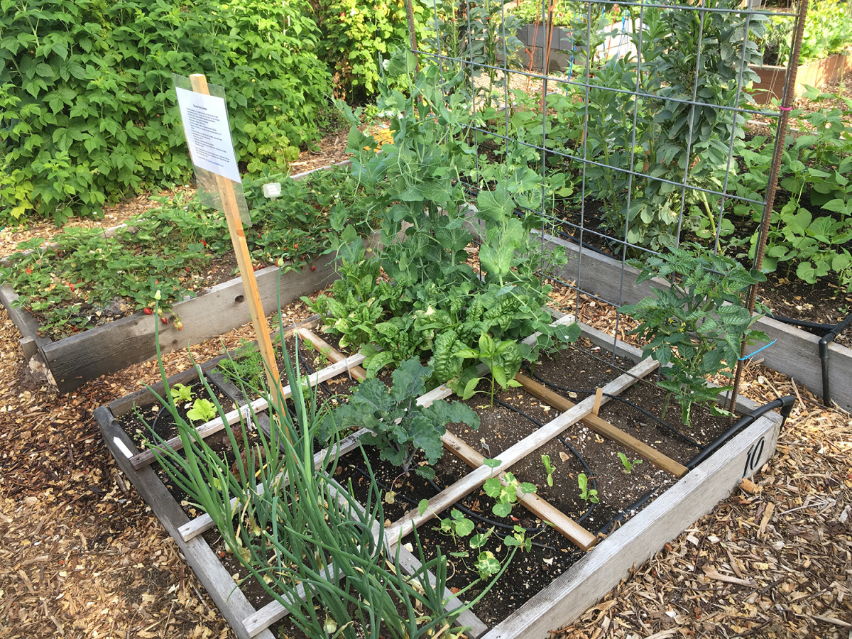 Raised bed gardens allow you isolate your plants from the ground soil.