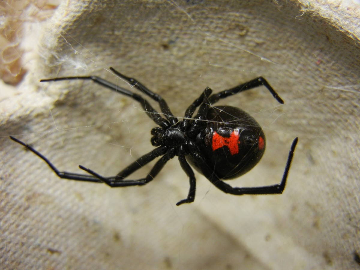 A female southern black widow with its distinctive red hourglass marking.  Despite their reputation, bites from female widows are rarely fatal.  These spiders feed on a variety of insects, as well as woodlice and other spiders.