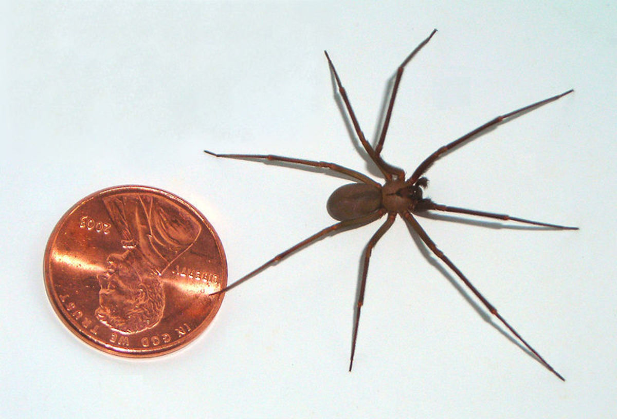 A brown recluse beside an American penny, showing the size of the spider.  The brown recluse is small but packs a venomous bite that can land you in hospital.  Fortunately, they are not native to Florida and only occasionally found in the state.