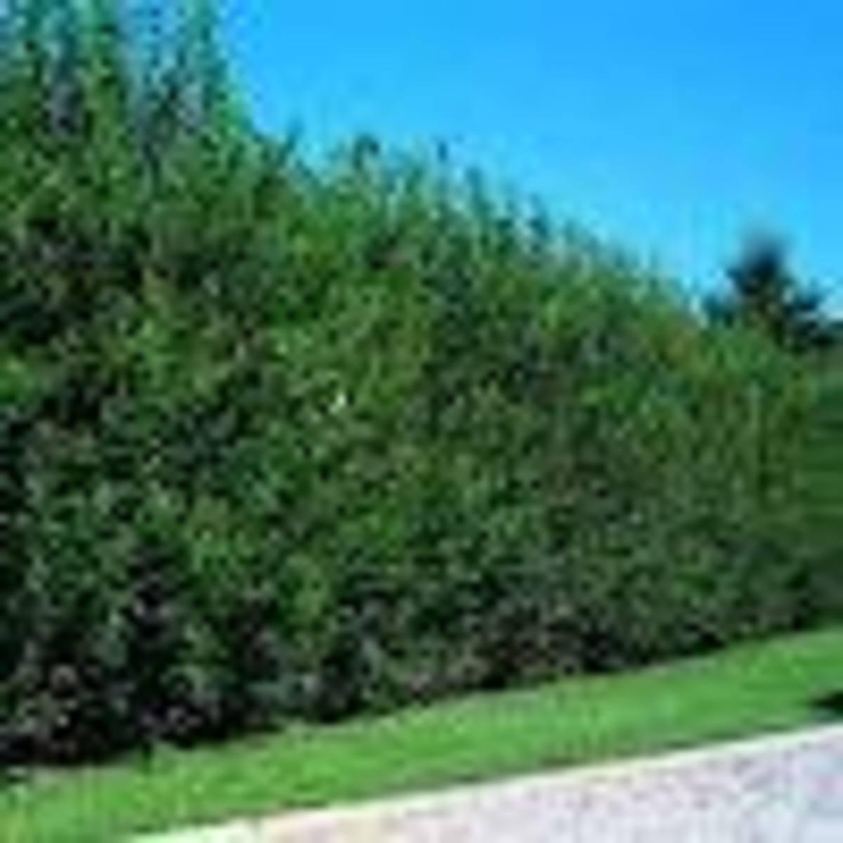 Willow Hybrid tree
