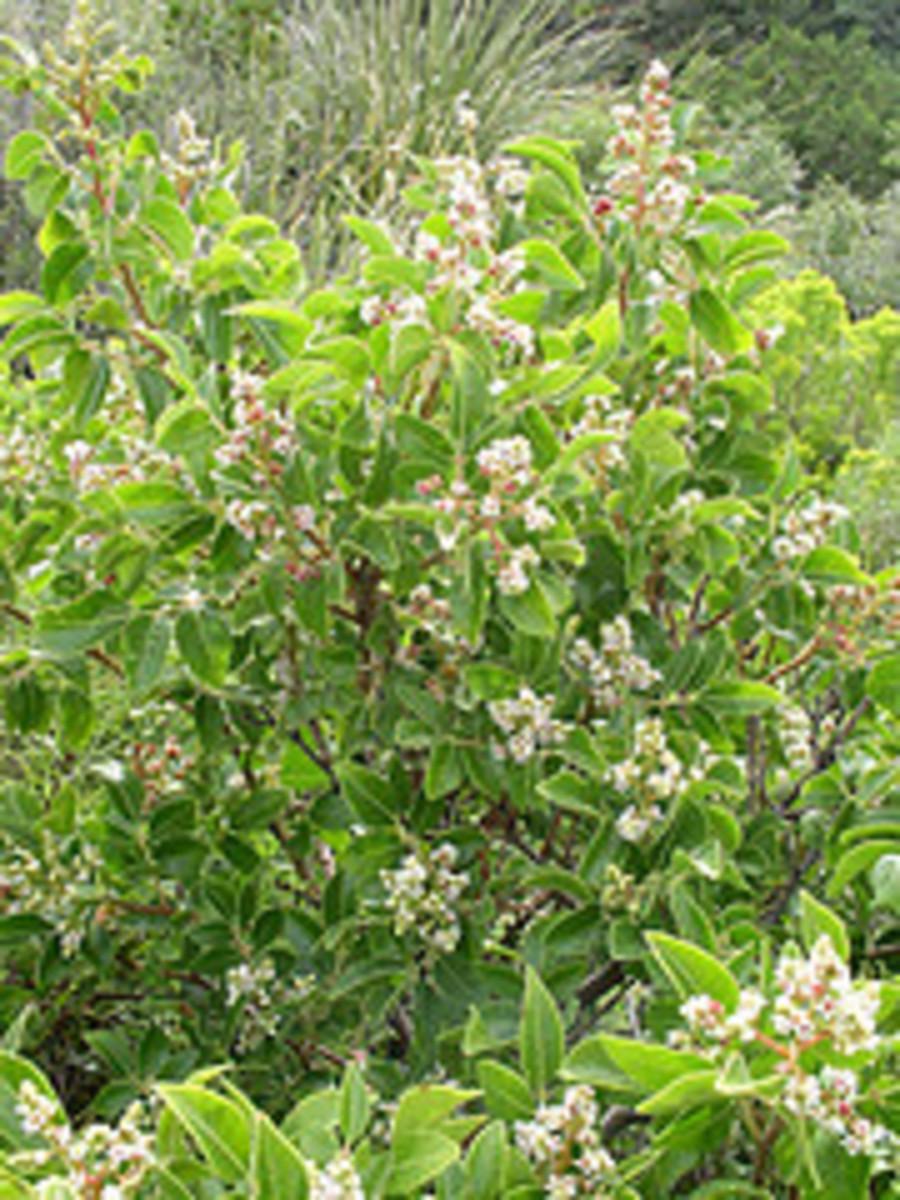 Rhus Virens  (evergreen sumac)