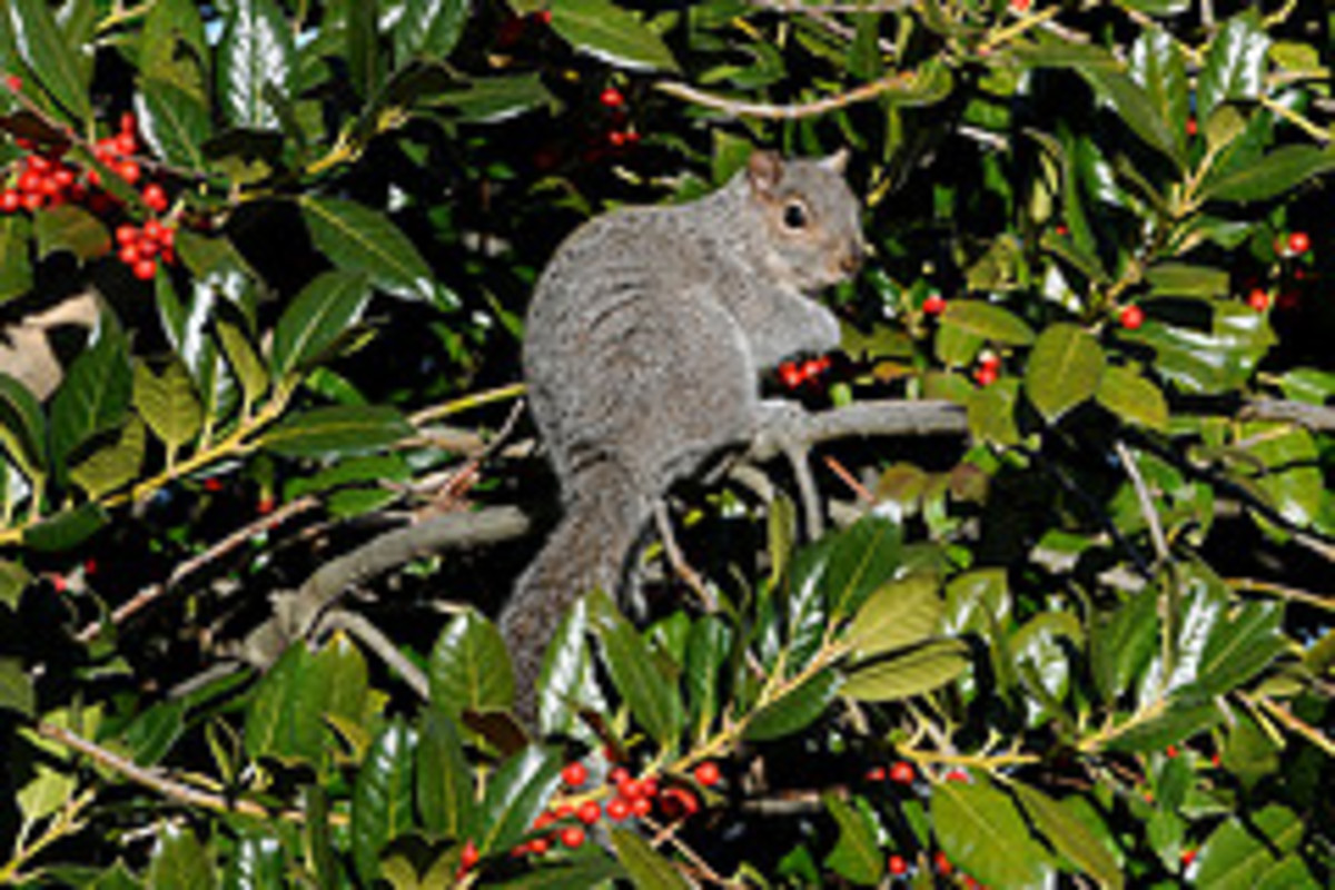 gray squirrel in American holly tree