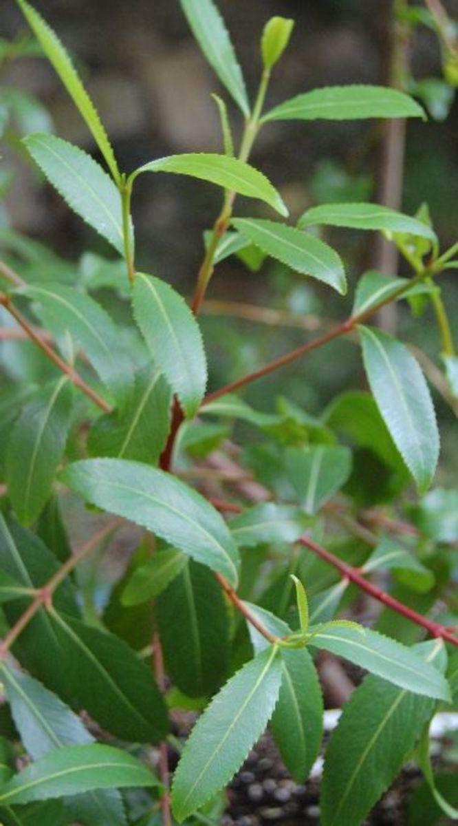 catha edulis, the khat plant