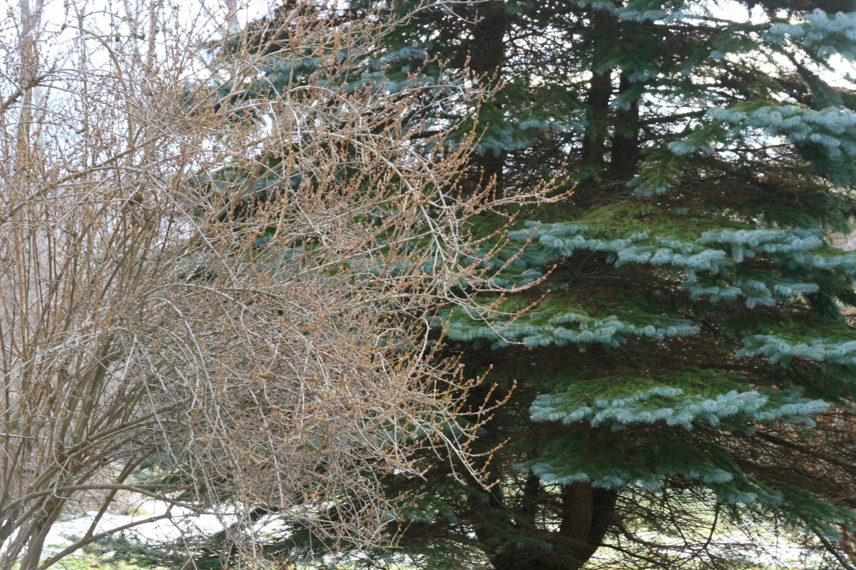 The leafless shrub in front of the pine tree is Forsythia. We noted the location of this shrub in an empty lot when it was blooming in the spring time.