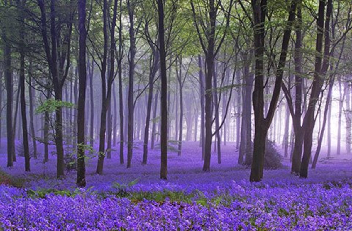 A bluebells field.