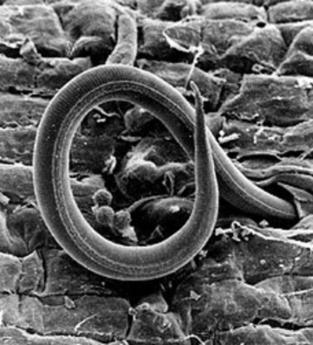 This is a 500X magnification of a root knot nematode entering a tomato root.