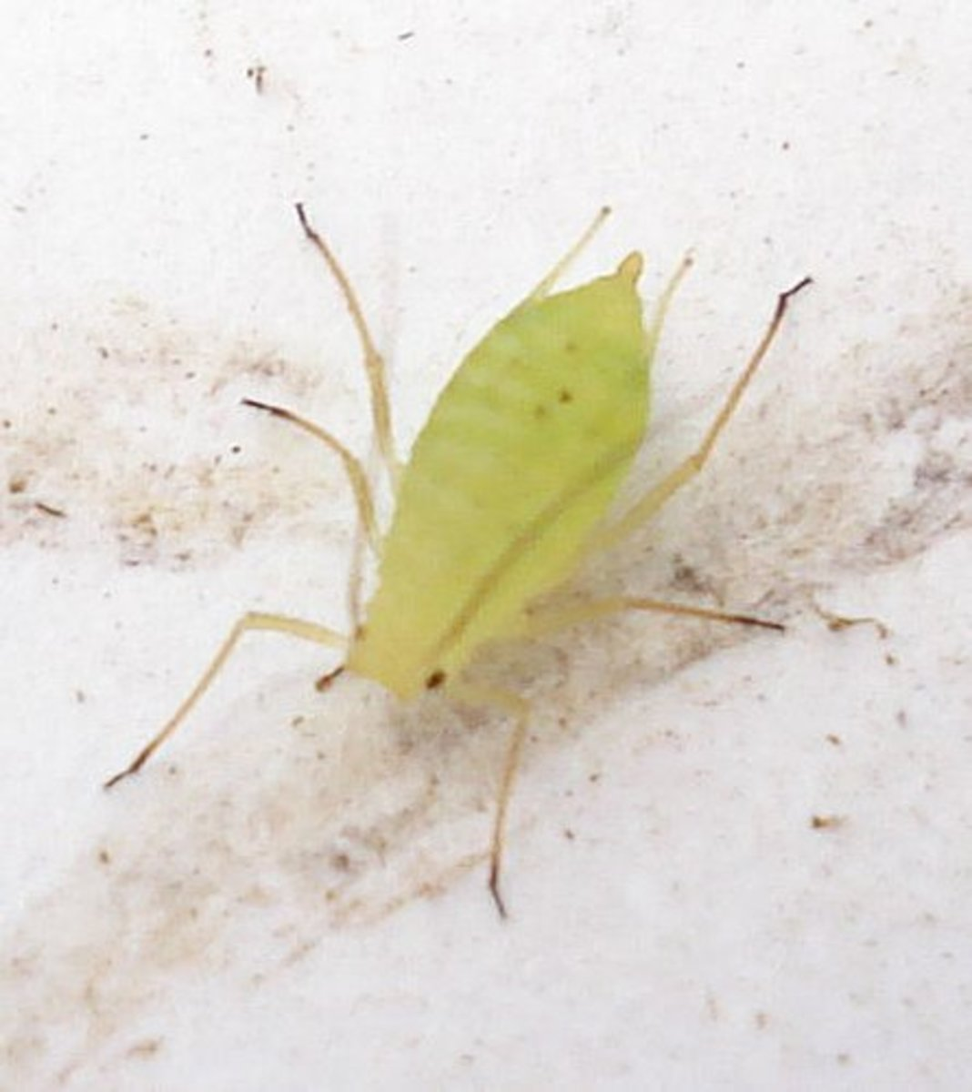 Aphid.