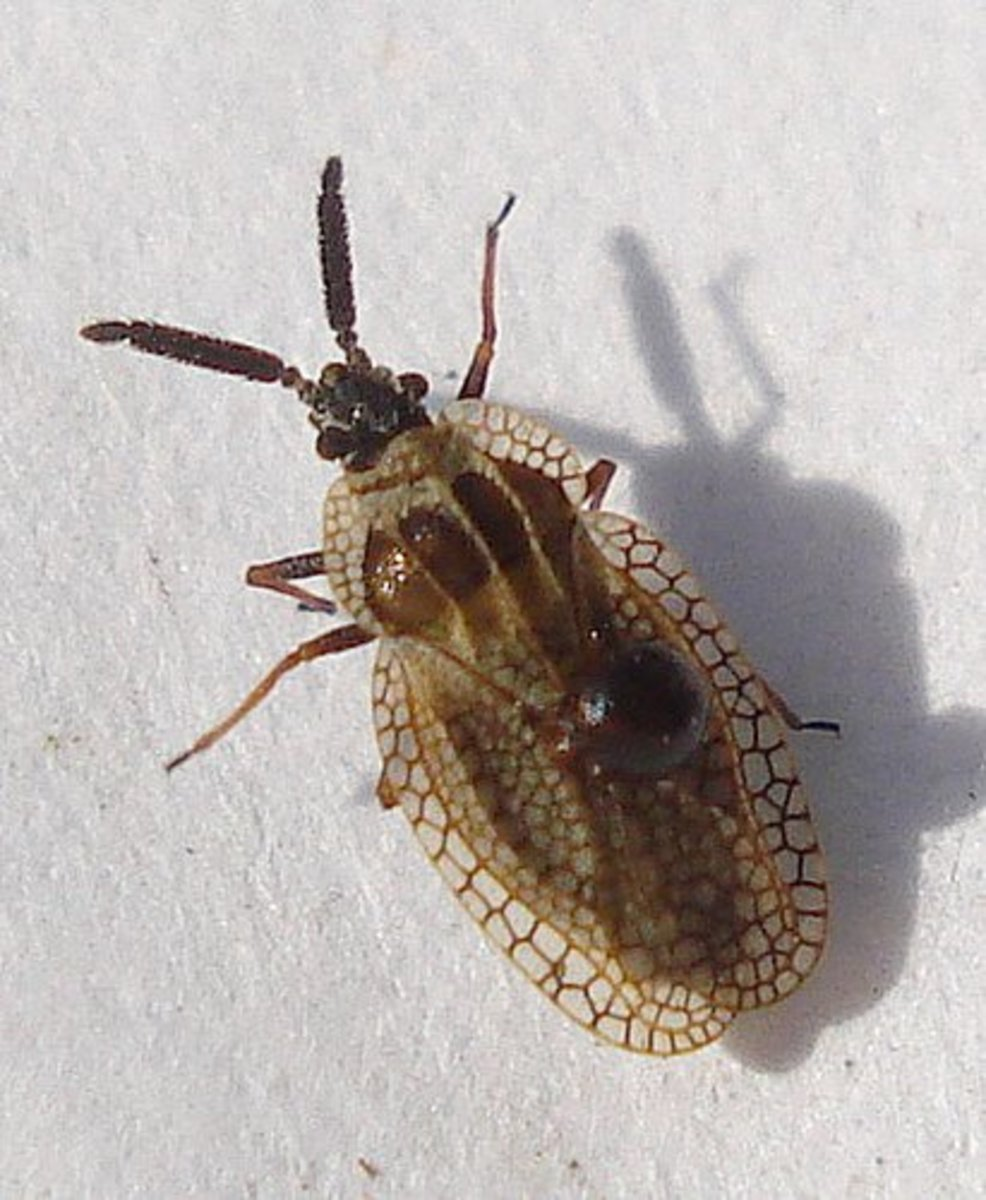 This is a gorse lace bug, which is similar to the eggplant lace bug. The eggplant lace bug will be light grey to bluish color, but will exhibit the rounded lace wings.