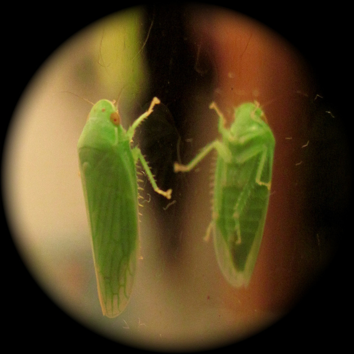 Green Leafhopper.