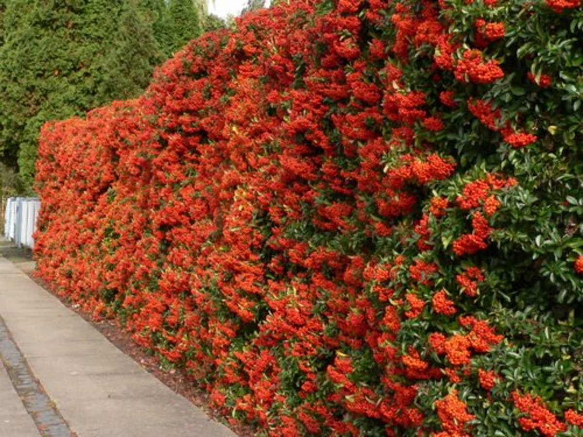 best garden plants. Pyracantha Hedge Best Garden Plants