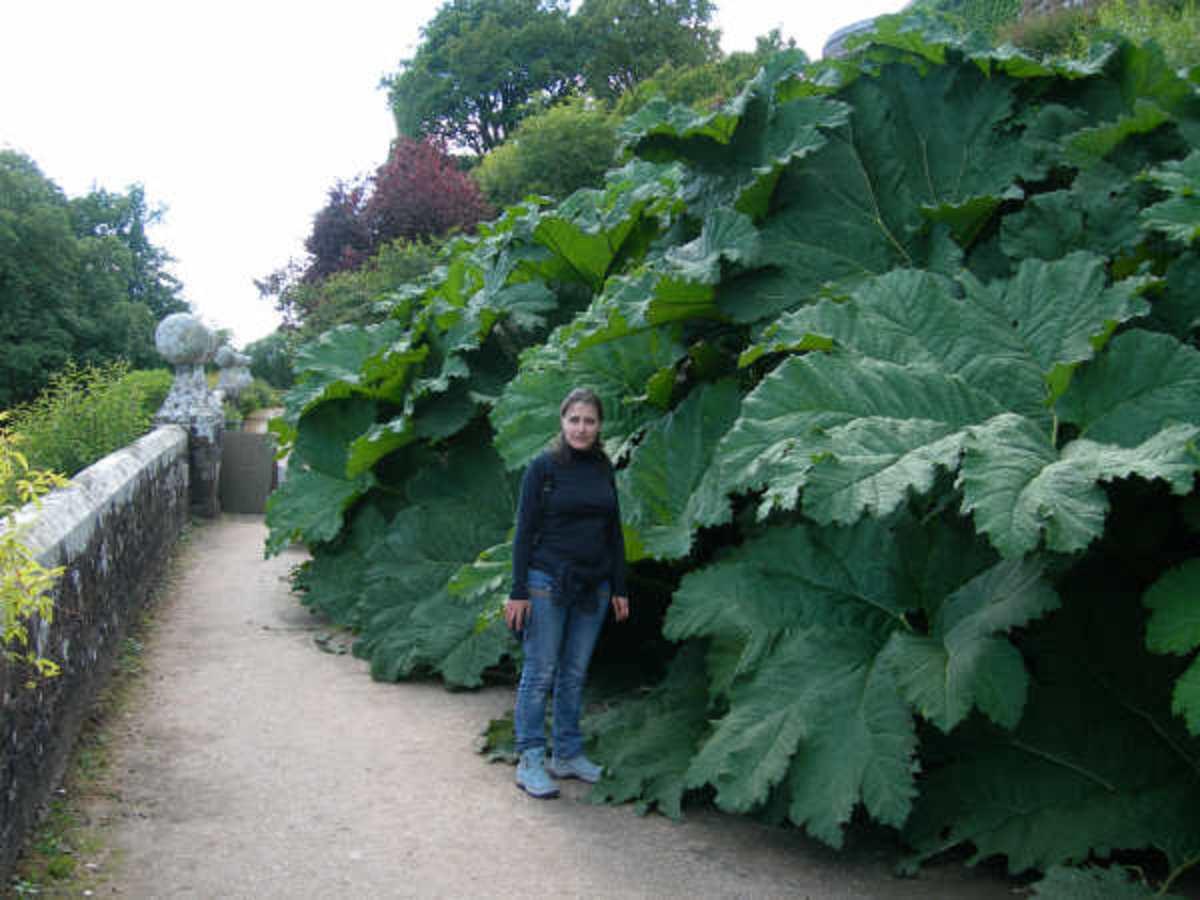 Giant Rhubarb - Gunnera manicata