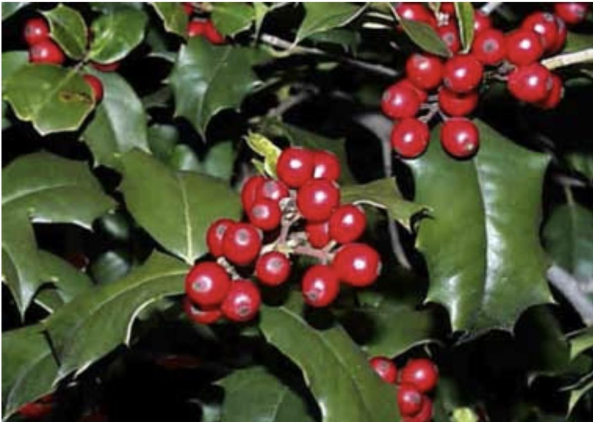 Holly—ilex agulfolium