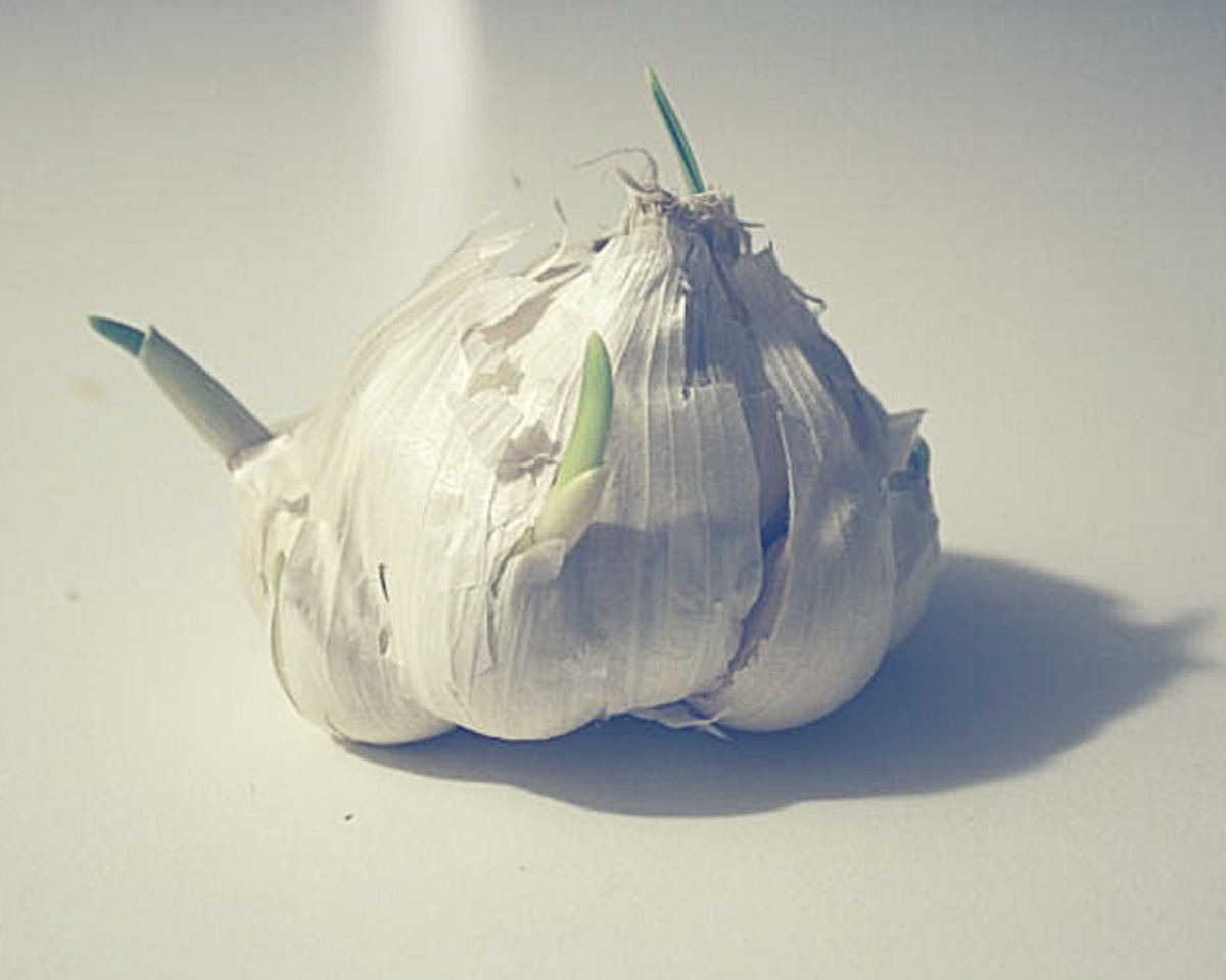 Is it safe to eat a sprouted garlic?