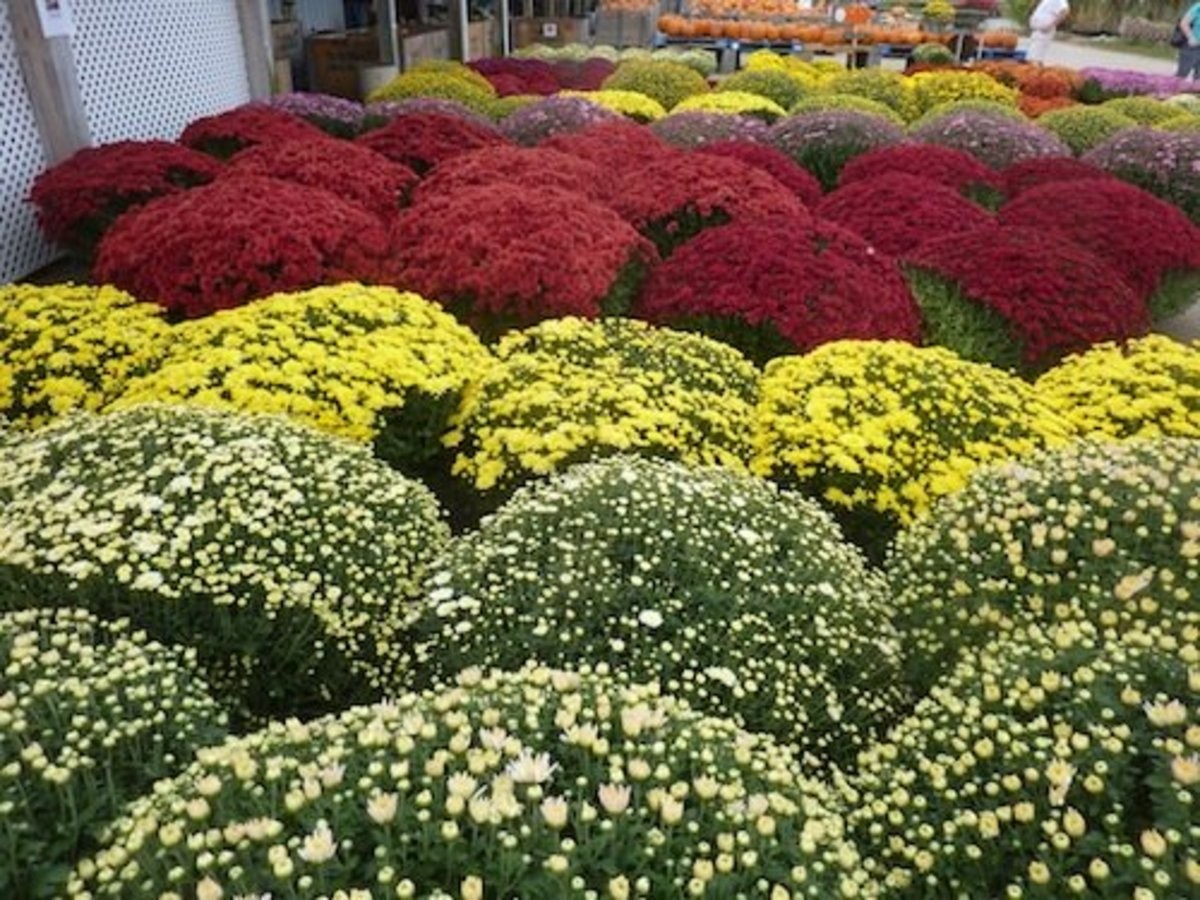 These beautiful mums are the result of pinching late spring to mid summer.