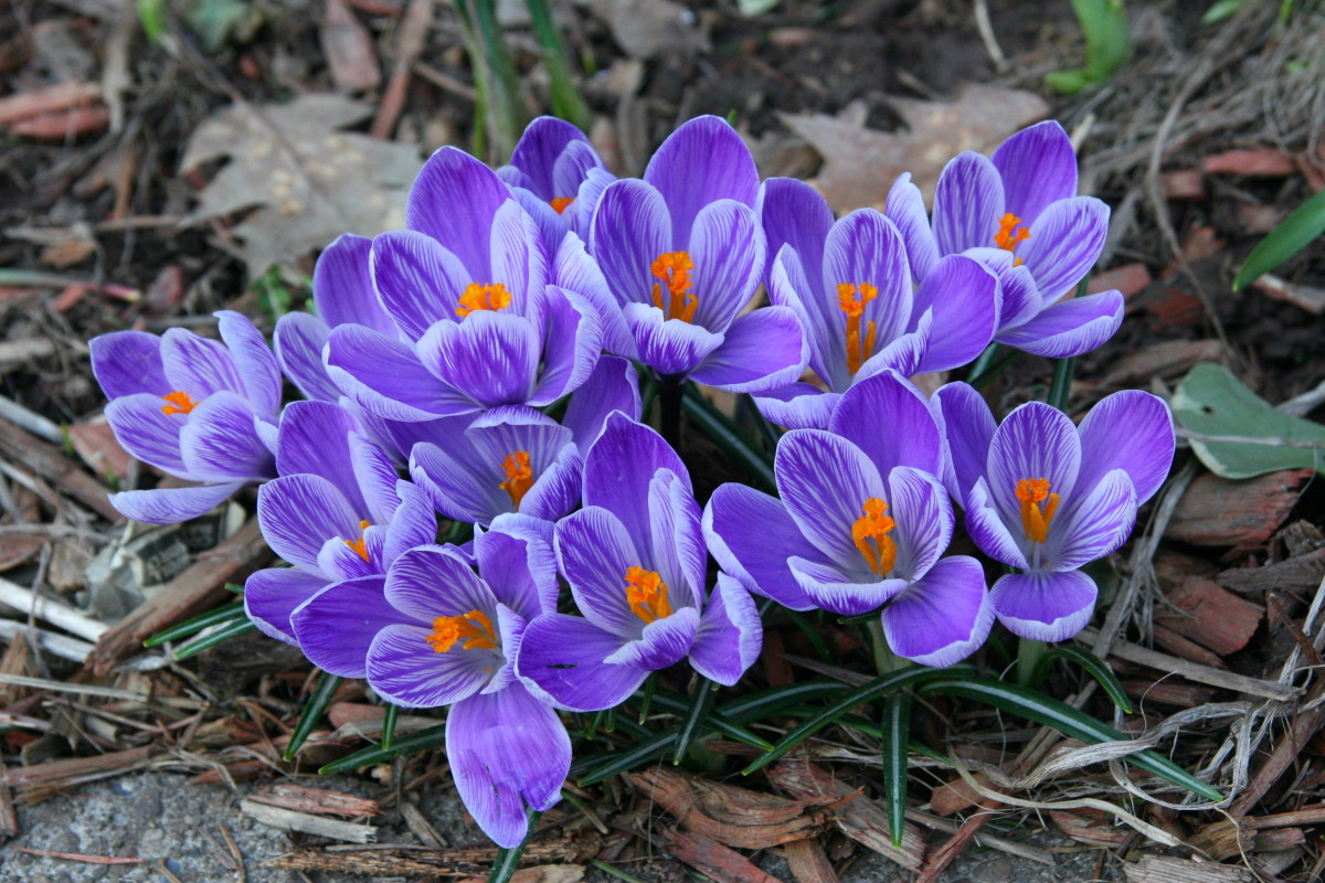 Crocus bloom in early spring, and add some beautiful color to an otherwise gray landscape.
