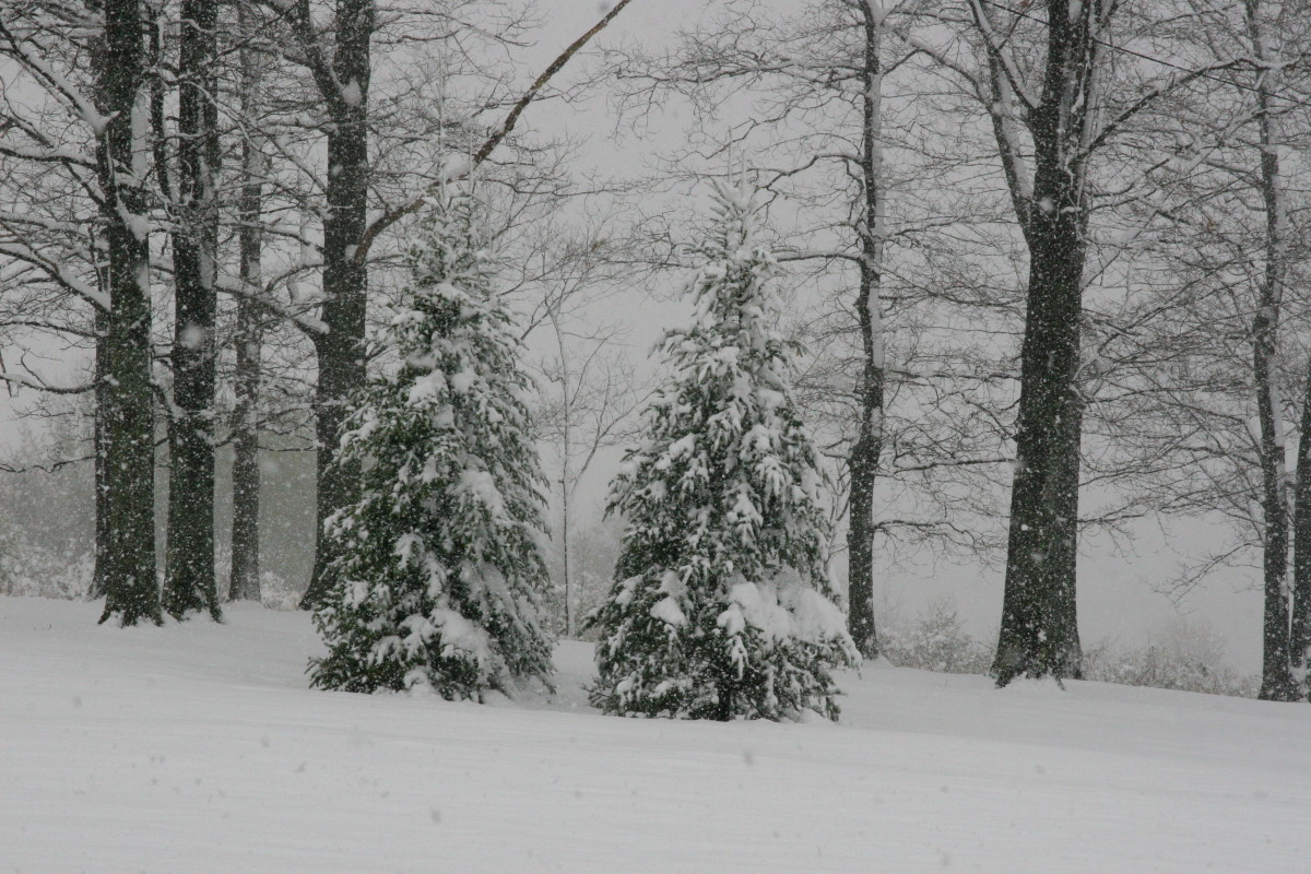 Add plants like evergreens for winter interest: these pine trees look beautiful when covered in snow.