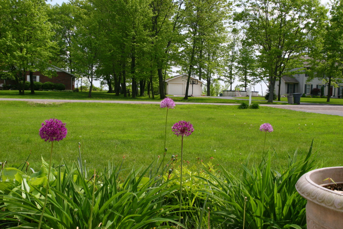 These alliums are planted among daylilies. When the allium foliage is fading, it will be hidden by the daylily leaves.