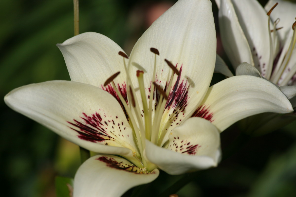 Lilies flower in the summer months, adding beauty and a wonderful scent to the garden.