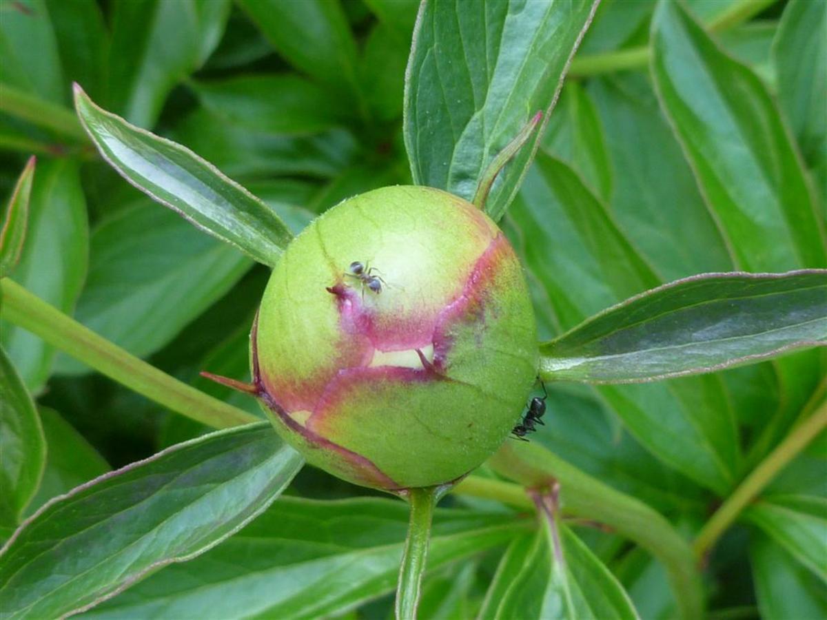 Ants enjoying nectar on a peony bud.