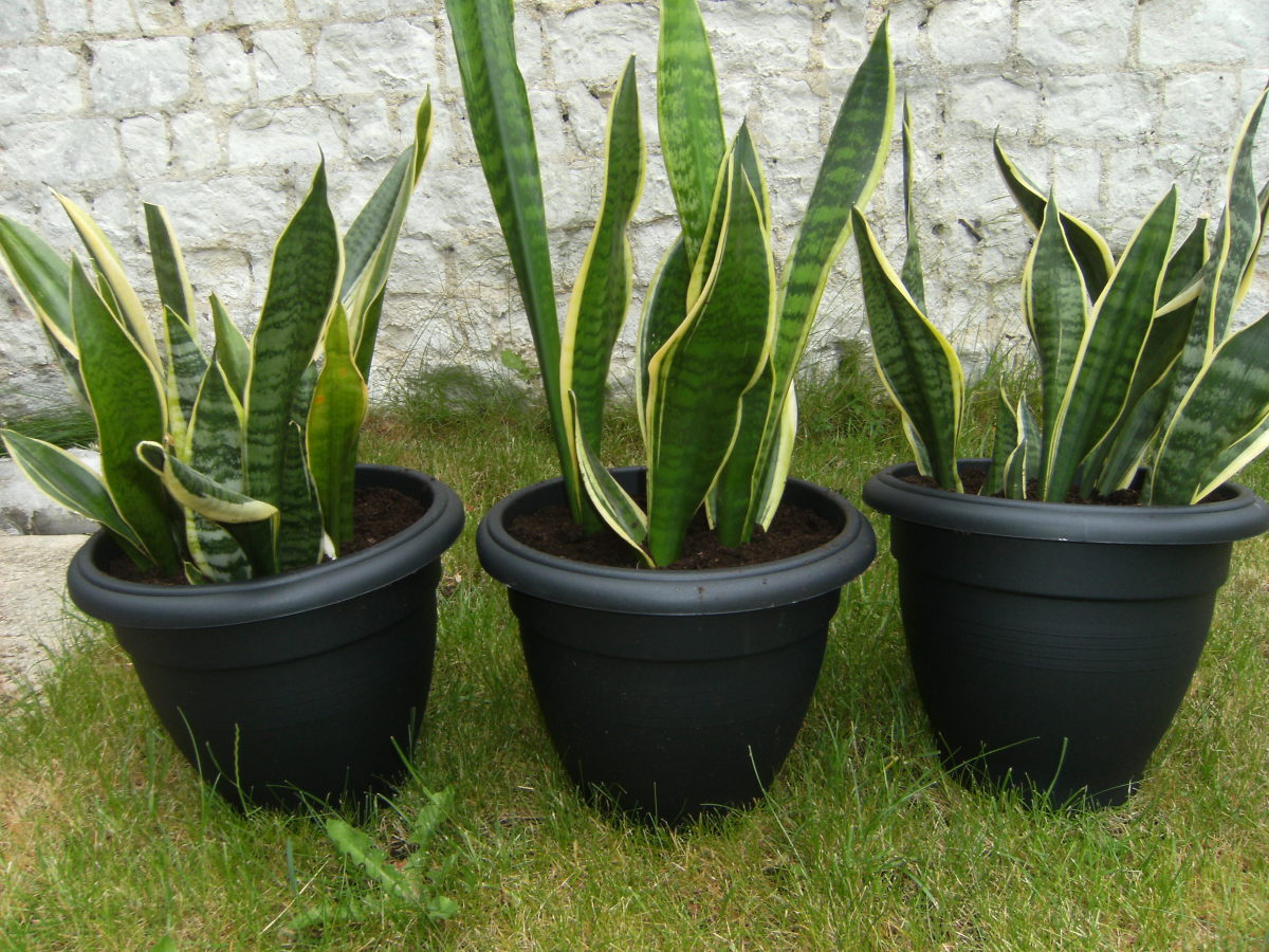 Mother-in-Law's Tongue plant in large pots
