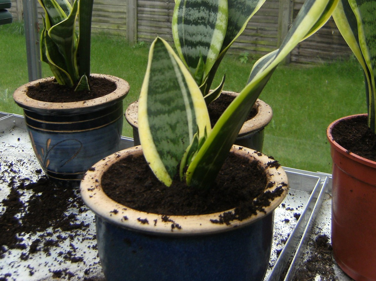Mother-In-Laws Tongue Plant In Small pots
