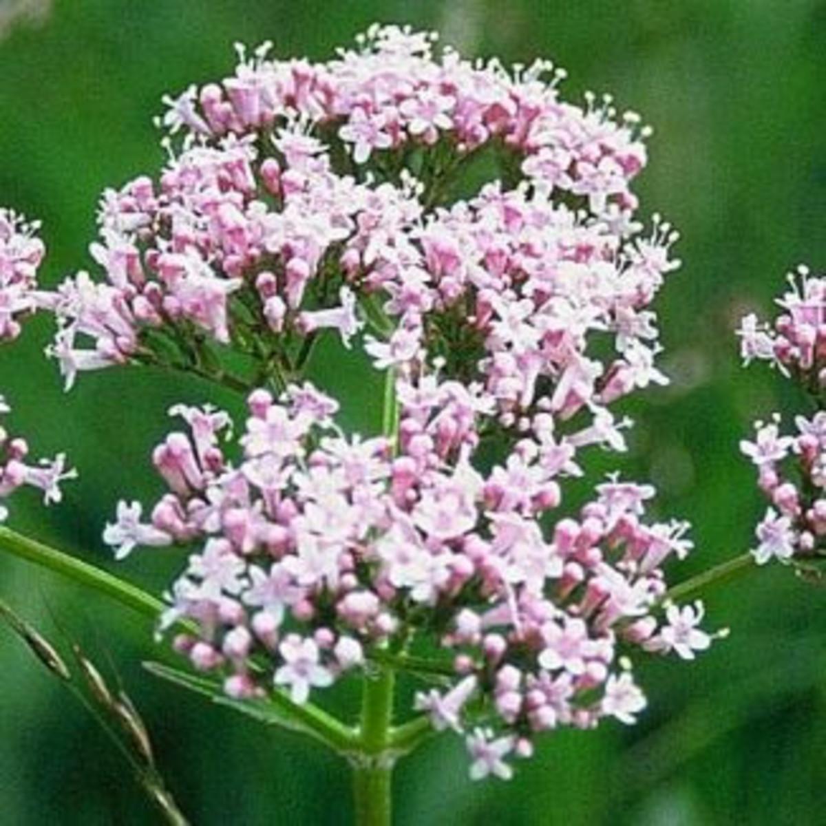 Valeriana officinalis flower