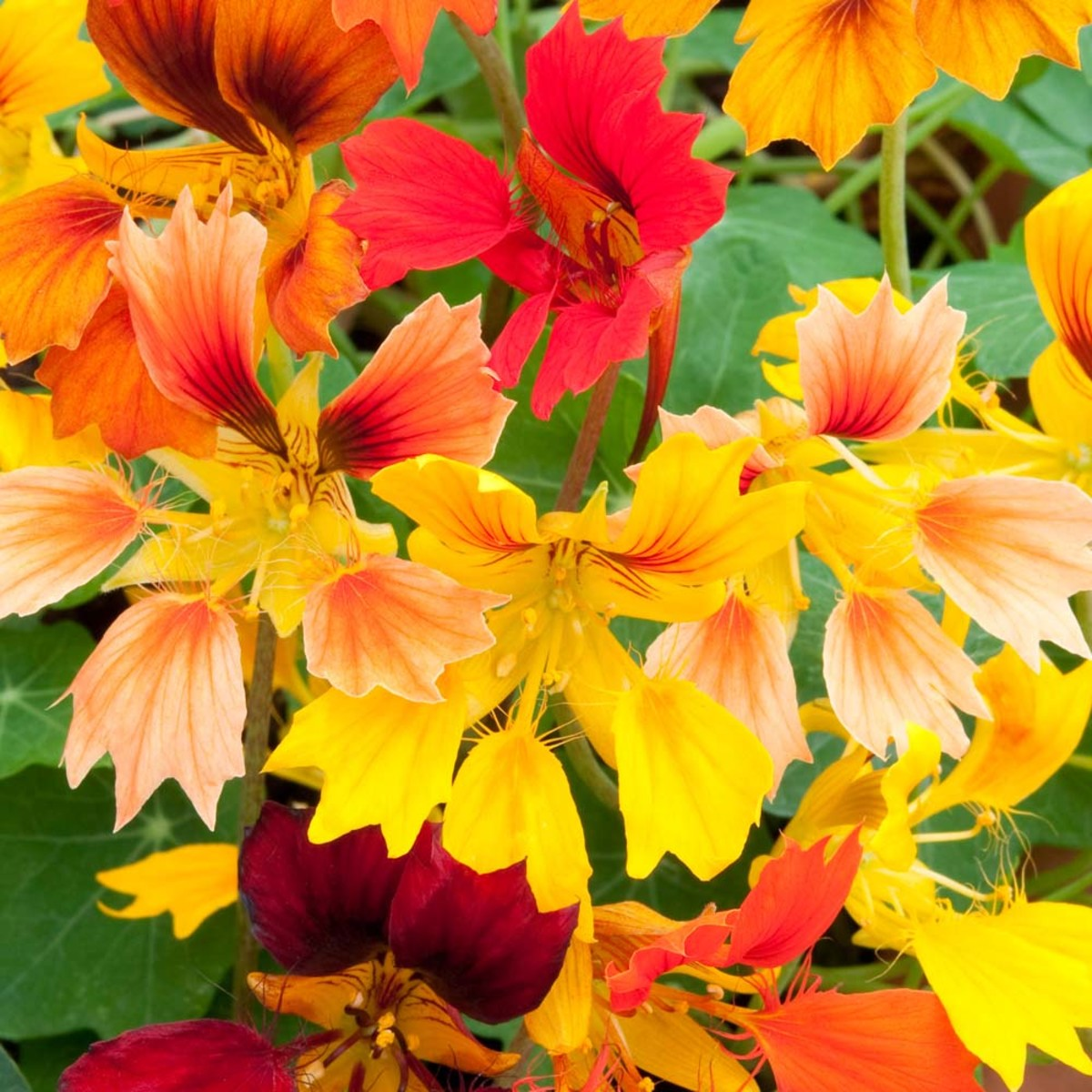 With its edible leaves and bright colors, the 'Flame Thrower' cultivar of nasturtiums is a great pick for most any garden.