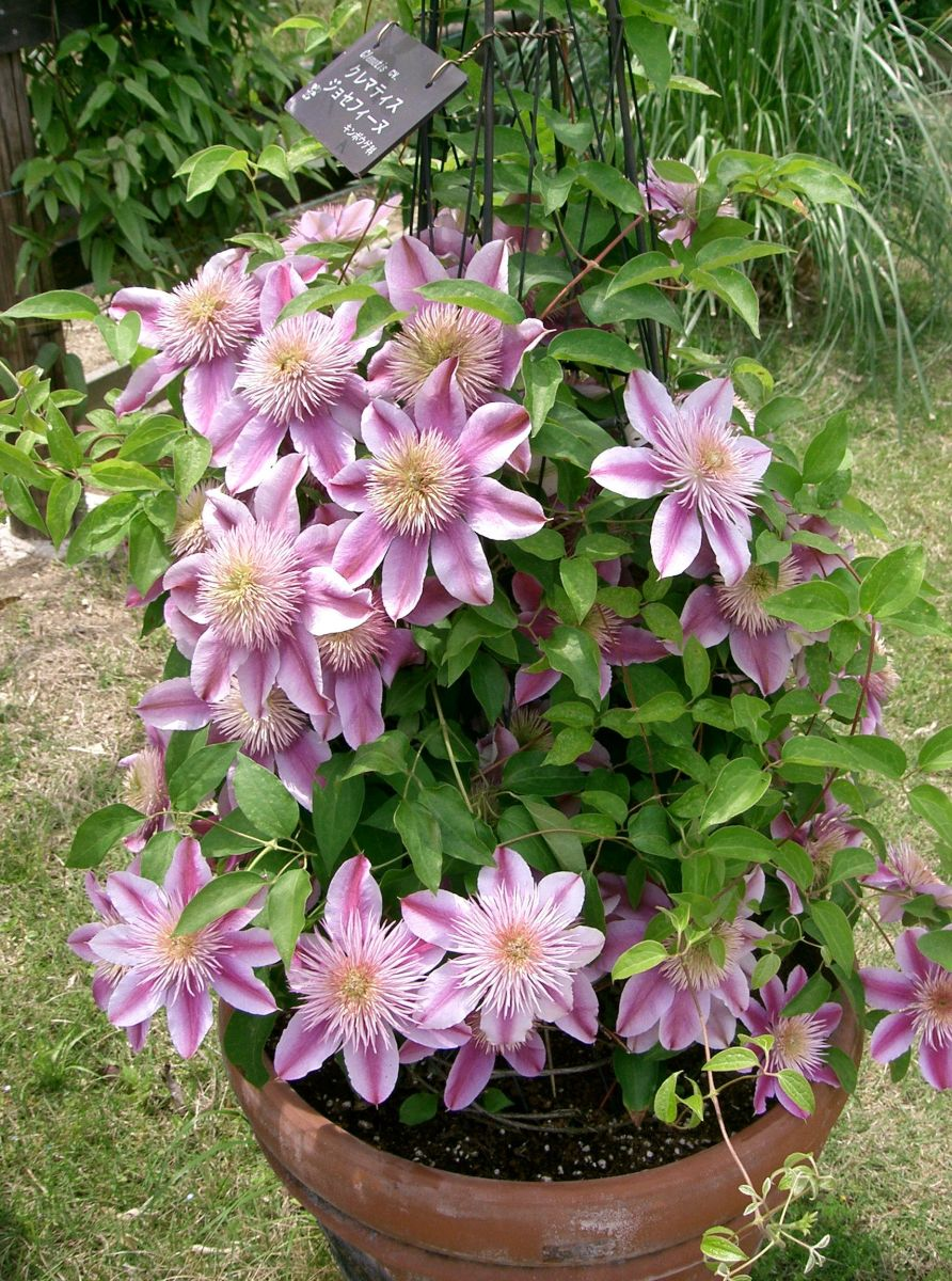 The 'Josephine' clematis is perfect for growing in containers.