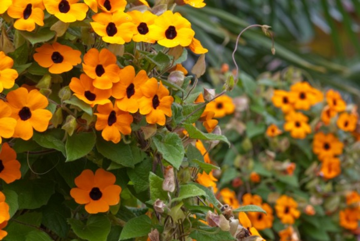 The 'Superstar' cultivar of thunbergia alata sports large, eye-catching orange blossoms, rather than the common yellow.
