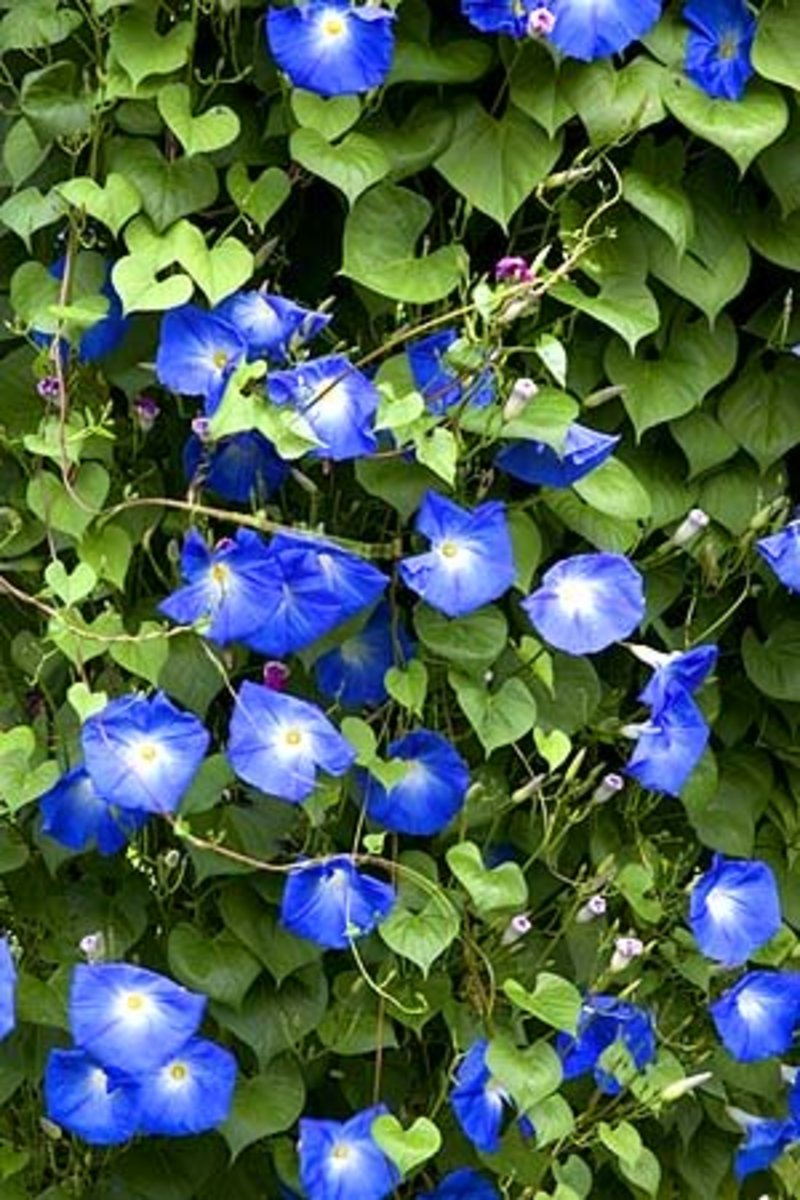 The 'Heavenly Blue' Morning Glories boast radiant hues of blue and love to shoot right up a trellis.