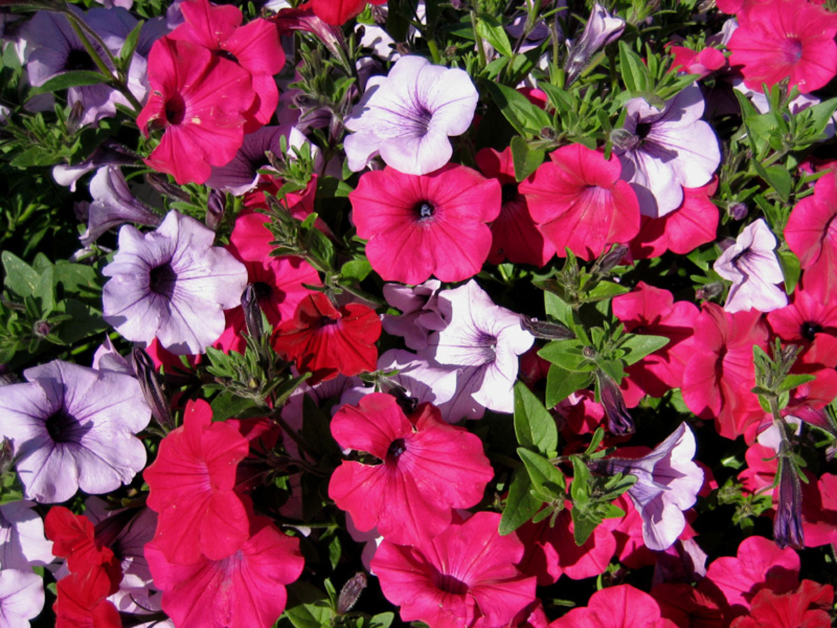 'Tidal Wave' petunias can be grown as climbers or as bushes, depending on how you plant and train them.