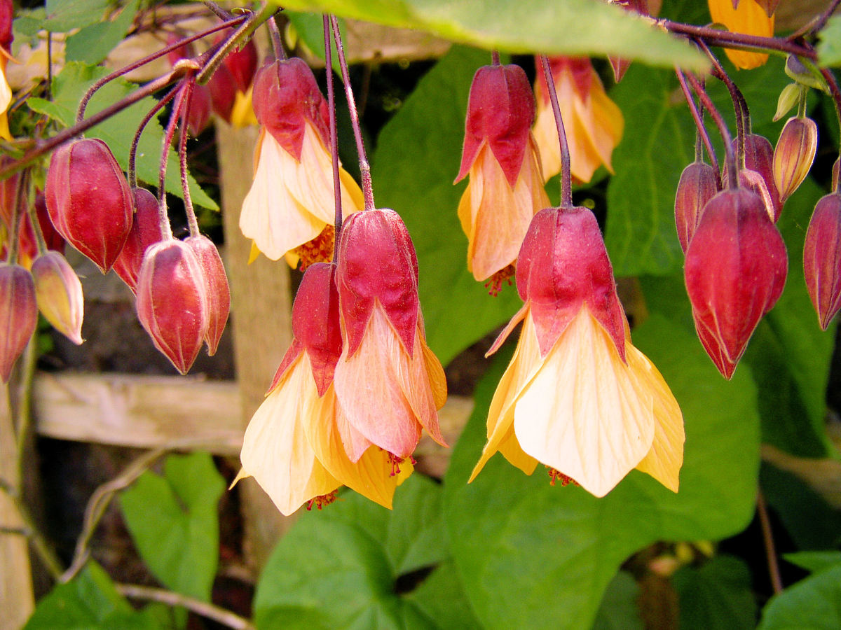 The 'Kentish Belle' cultivar of abutilon can function as a standalone shrub or a prolific climber.
