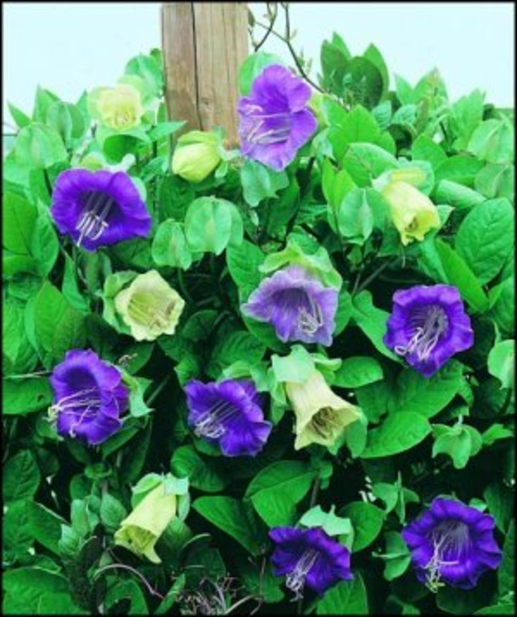 Fast growing and easy to care for, cobaea scandens is a great climber for your trellis or house.