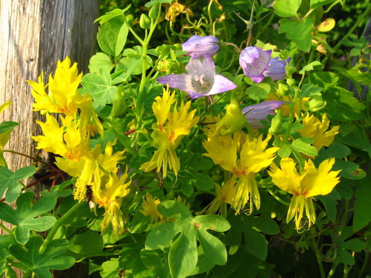 The 'Canary Creeper' variety of tropaeolum peregrinum looks great when allowed to weave through other plants along a trellis.
