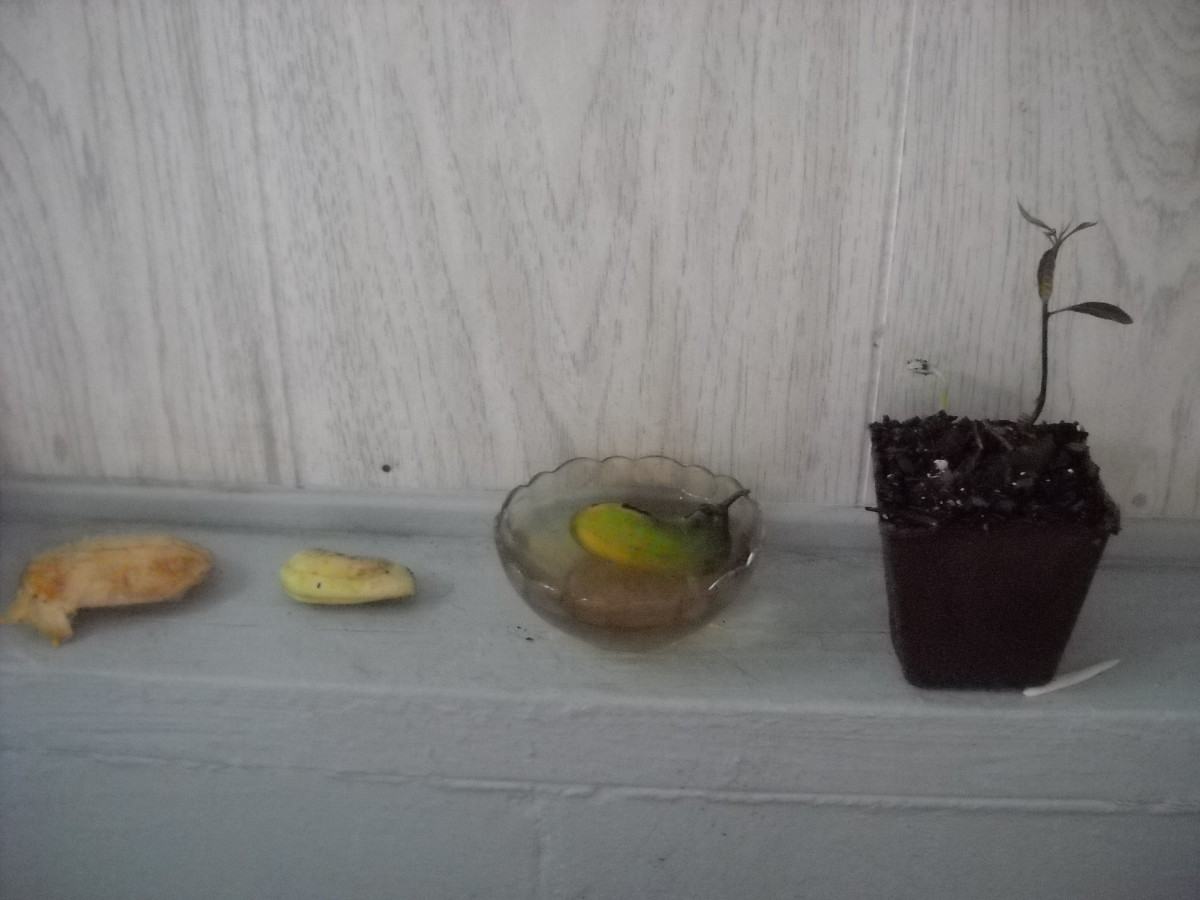 Growing A Mango Tree From Seed