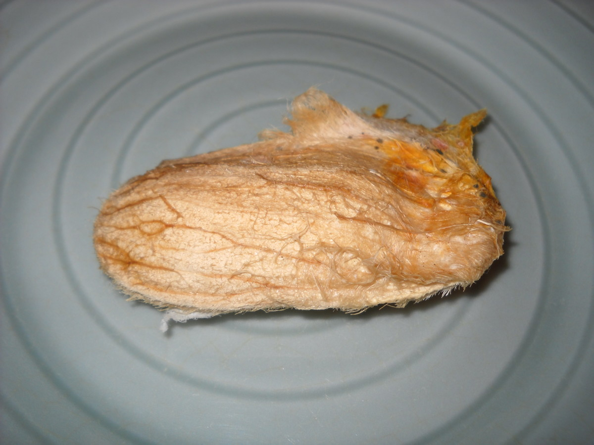 After eating your mango, clean the seed and let it dry for a day and half. This is what it should look like.