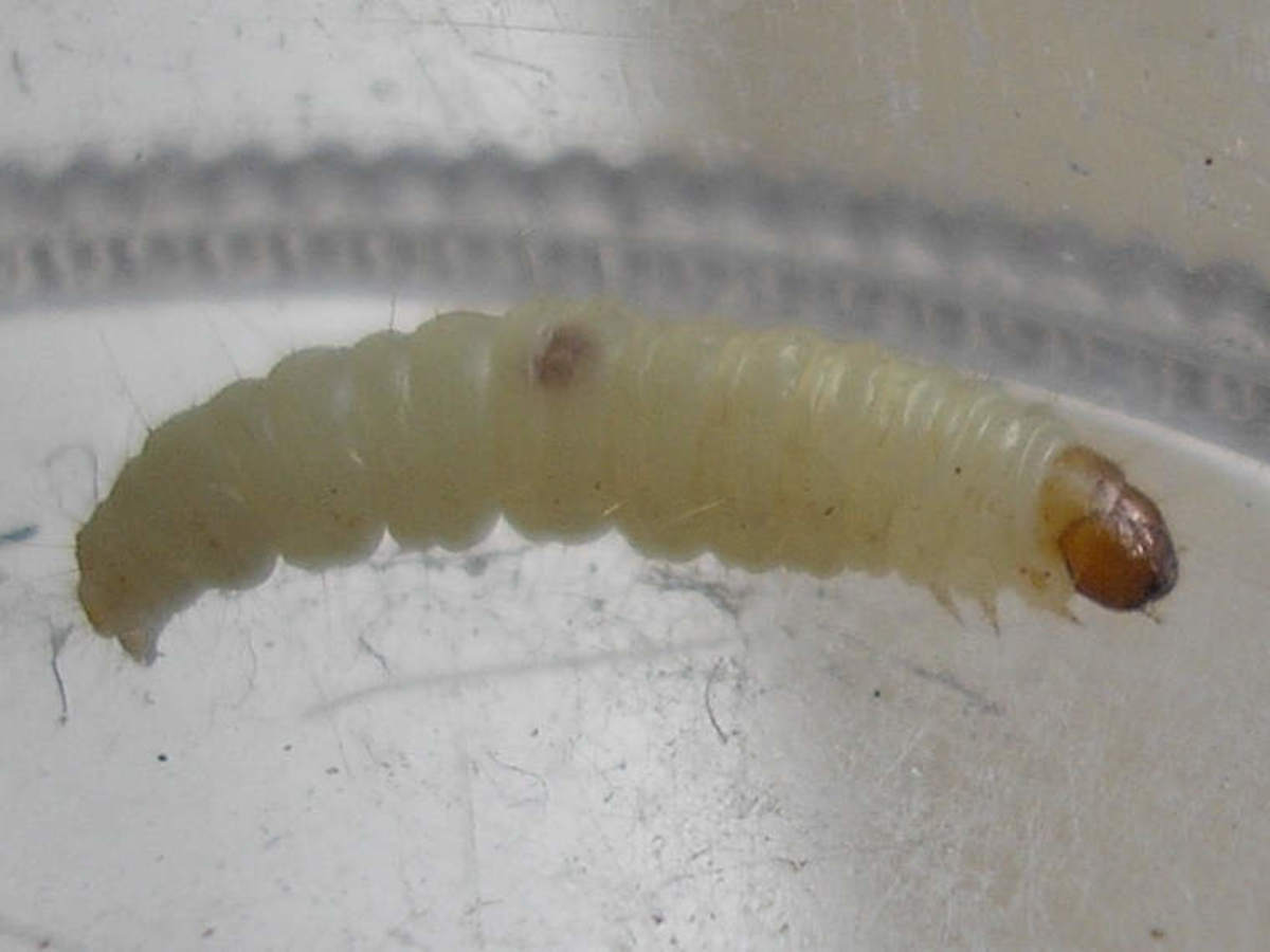 Indian Meal Worm Larva