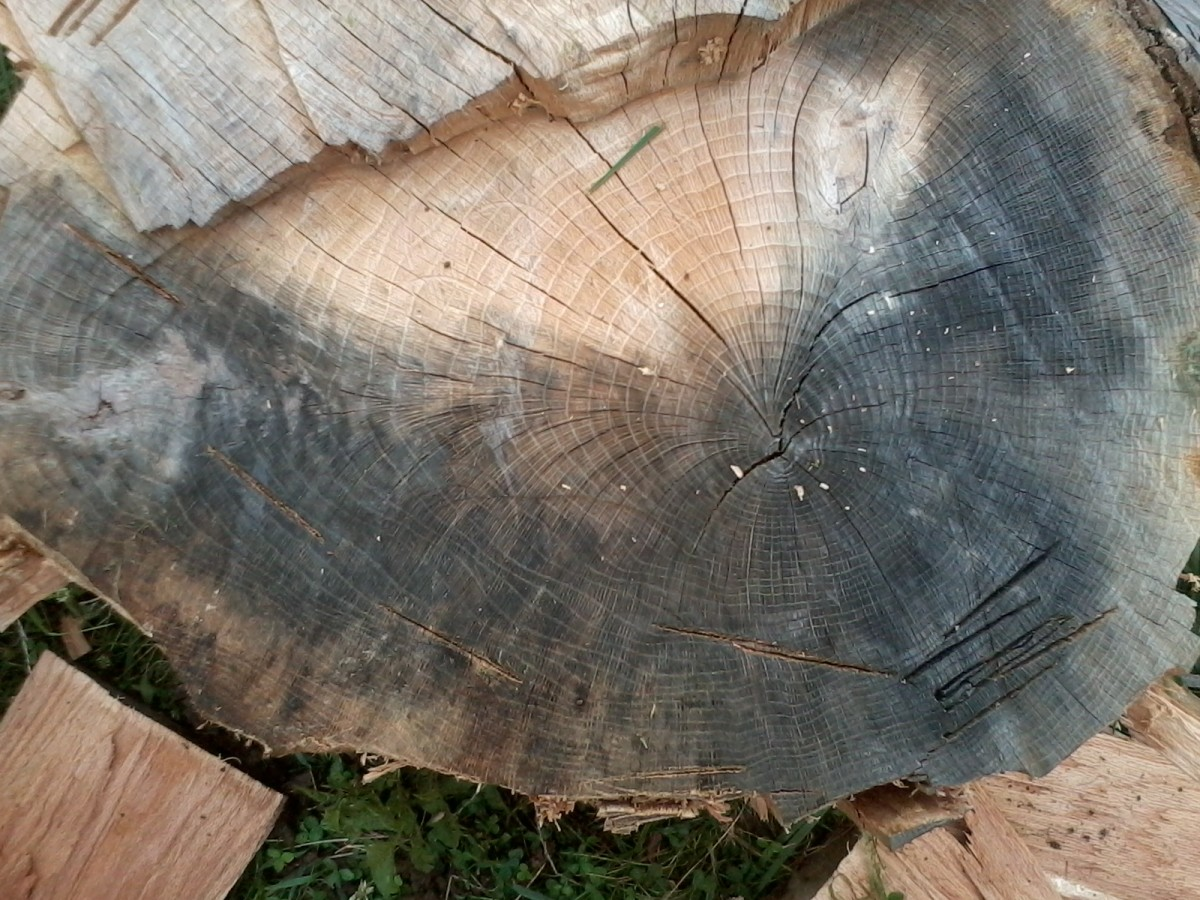 Stripping off the outer layers yields firewood and helps get the rest of the round apart. (Scarlet oak)