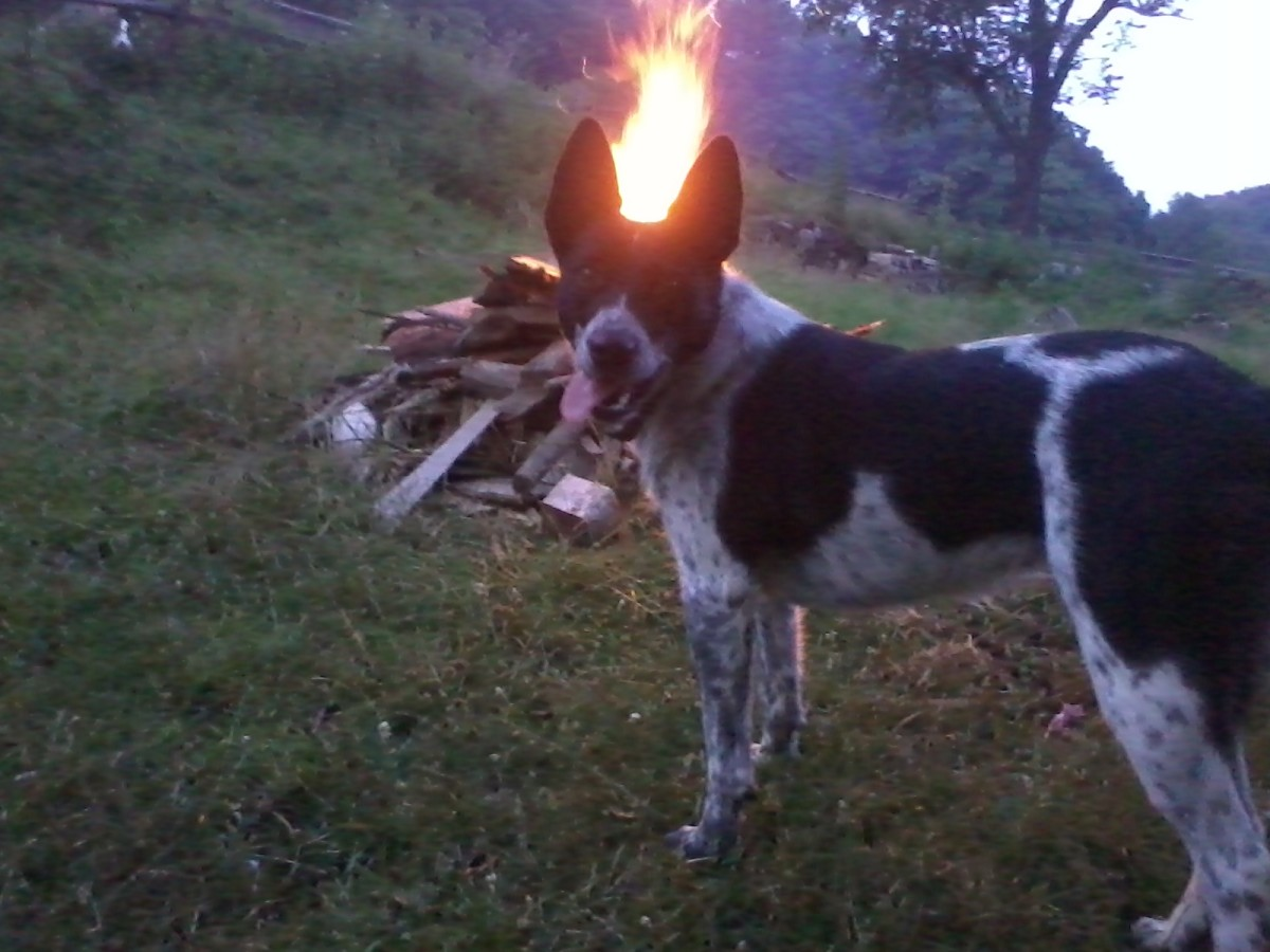 Even my blue heeler, Honeybear, loves to hang around a fire!