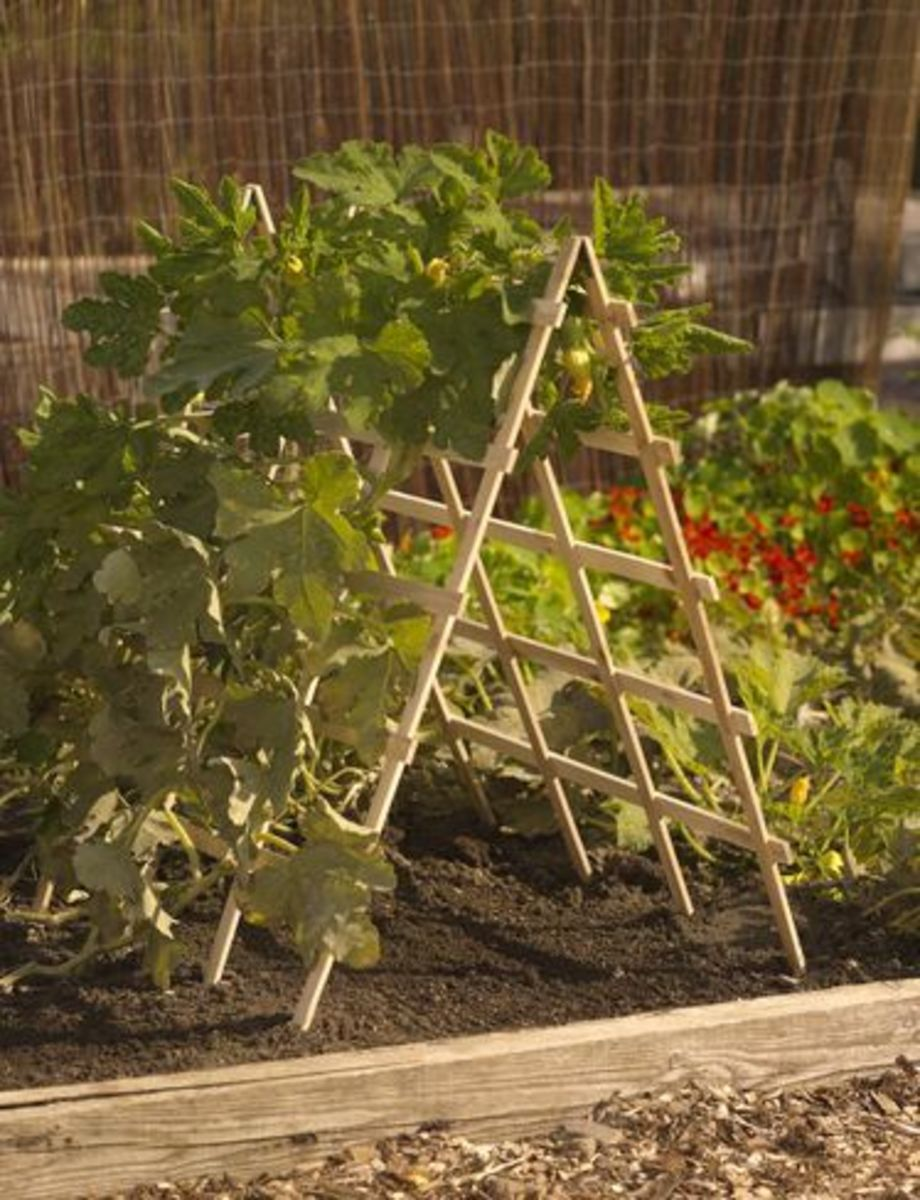 You can grow great squash up on an A-frame support like in this photo. Be sure to build a secure, heavy-duty frame for squash plants, though.