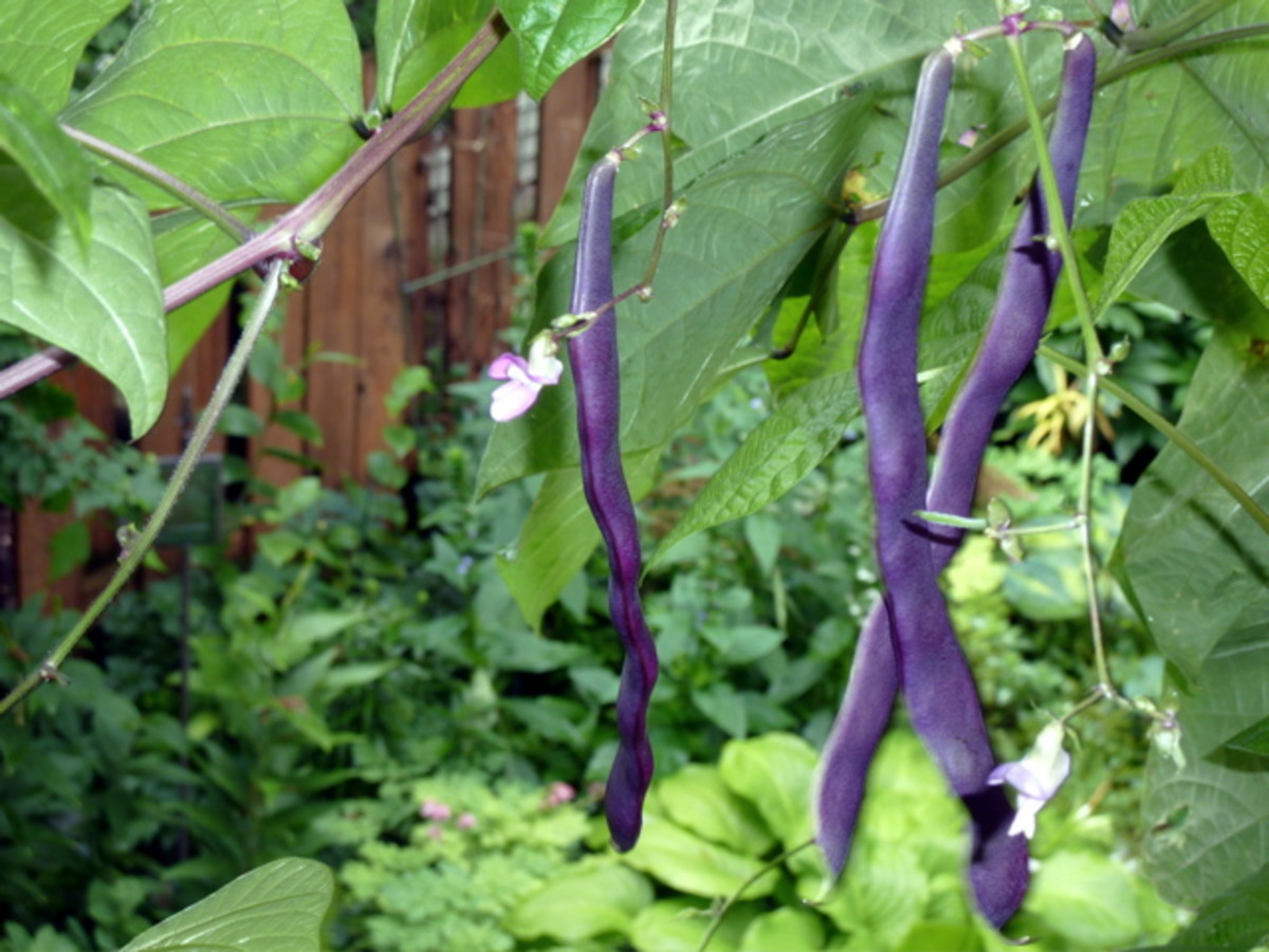 Purple Pole Beans Being Grown Vertical.