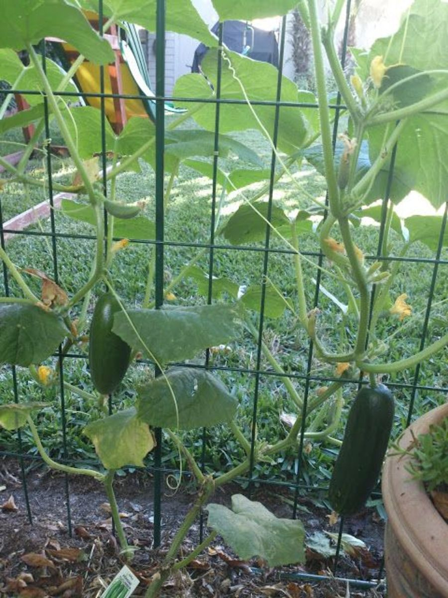 You can put up a section of fence like this photo and plant your cucumbers along it. They will grow up the fence and be easy to pick.