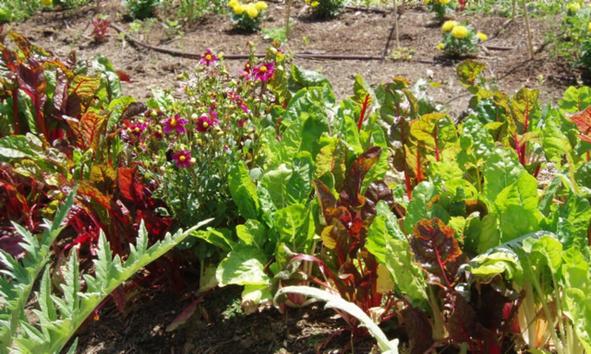 Food - Lettuce