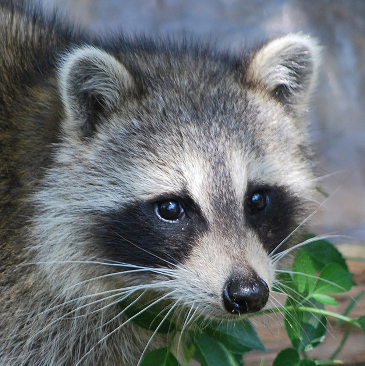 Lawn Grubs: How to Identify, Get Rid of, and Prevent Them ... Raccoon Face