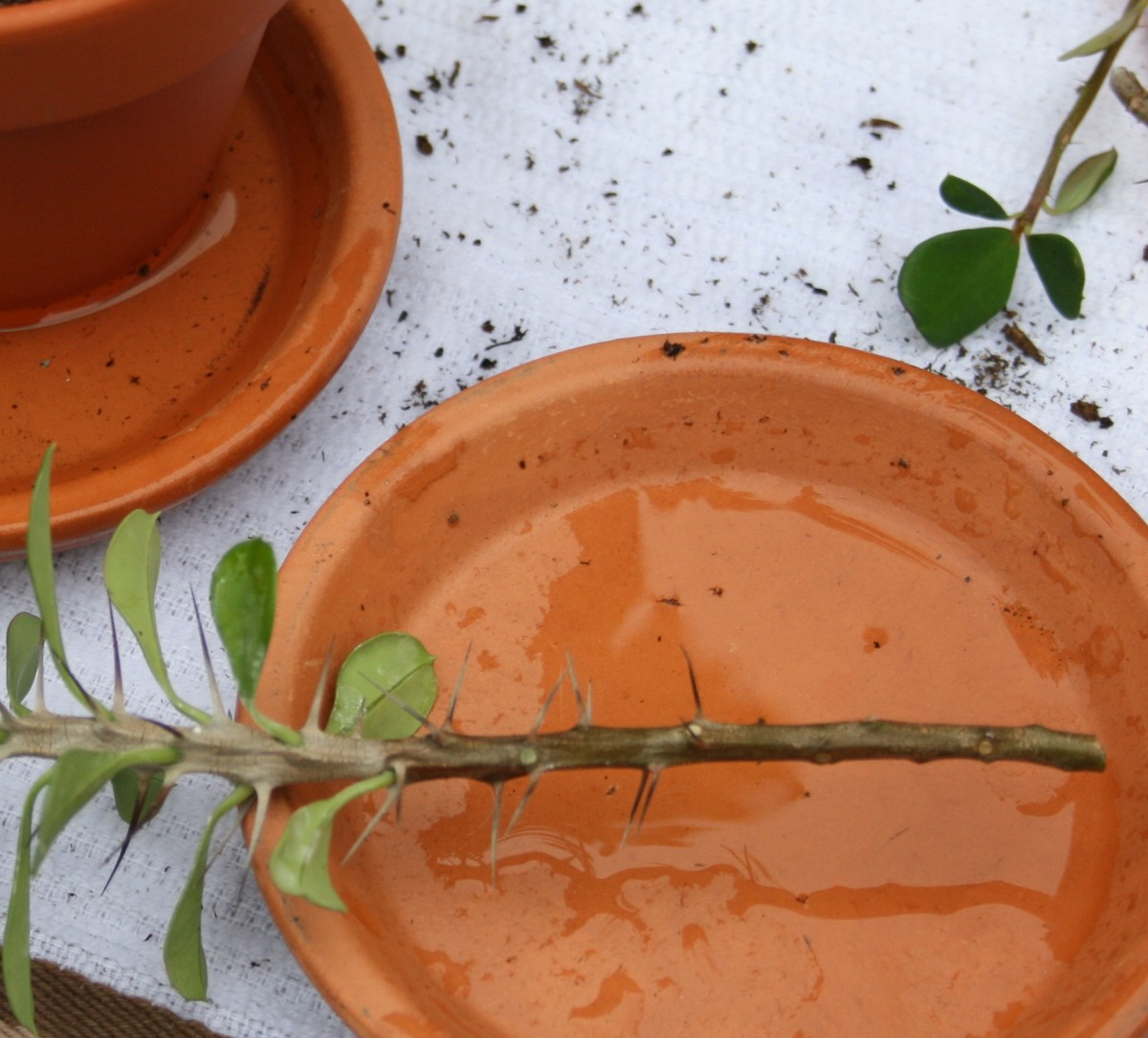 Remove the lower thorns & leaves from cuttings with your gloved fingers before planting them.